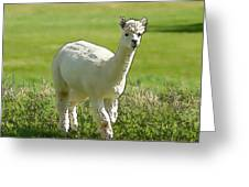 Illustration Of White Alpaca Like Llama Walking In Field Unique And Different Greeting Card