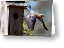 Img_1414-003 - Eastern Bluebird Greeting Card