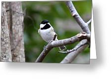 Img_4882 - Carolina Chickadee Greeting Card