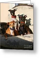Italian Greyhounds Greeting Card