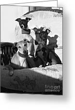 Italian Greyhounds In Black And White Greeting Card