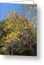 Jerusalem Thorn Tree Greeting Card