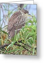 Juvenile Black-crowned Night Heron Greeting Card