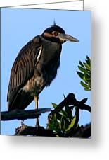 Juvenile Night Heron Greeting Card