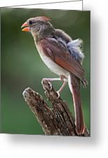 Juvenile Northern Cardinal Greeting Card