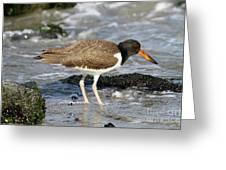Juvenile Oystercatcher Greeting Card
