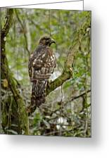 Juvenile Short-tailed Hawk Greeting Card