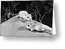 Kangaroo Rat Greeting Card