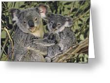 Koala Phascolarctos Cinereus Mother Greeting Card by Gerry Ellis