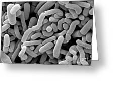 Lactobacillus Acidophilus And L. Casei Greeting Card
