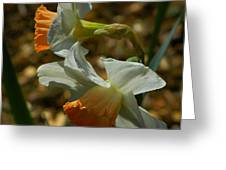 Late Day Daffodils Greeting Card