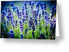 Lavander Flowers In Lavender Field Greeting Card