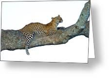 Leopard Panthera Pardus Sitting Greeting Card