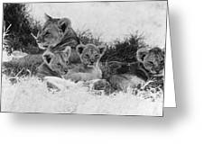 Lions Greeting Card