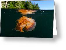 Lions Mane Jellyfish Swimming Greeting Card by Paul Nicklen