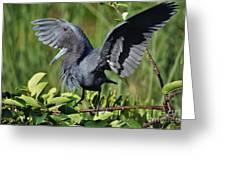 Little Blue Heron Greeting Card