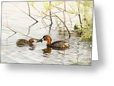 Little Grebe Tachybaptus Ruficollis Greeting Card