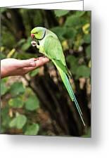London Parakeet Greeting Card