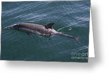 Long-beaked Common Dolphins In Monterey Bay 2015 Greeting Card