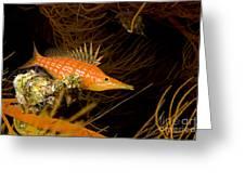 Longnose Hawkfish Greeting Card