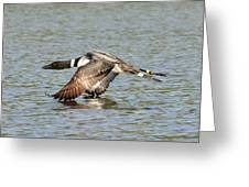 Loon In Flight Greeting Card