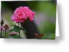 Lovely Pink Rose Greeting Card
