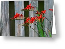 Lucifer Crocosmia By Fence Greeting Card