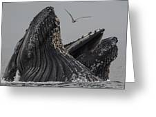 Lunge-feeding Humpback Whales In Monterey Bay Greeting Card