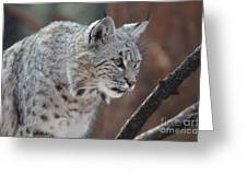 Lynx In A Crouch Ready To Pounce Greeting Card