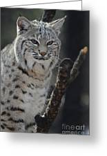 Lynx Perched In A Tree Greeting Card