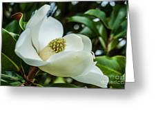 Magnolia Bloom IIi Greeting Card
