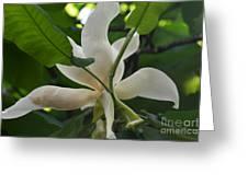 Magnolia Macrophylla Greeting Card