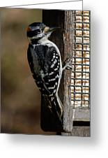 Male Hairy Woodpecker Greeting Card