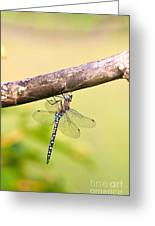 Male Migrant Hawker Greeting Card