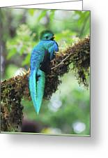 Male Quetzal Greeting Card