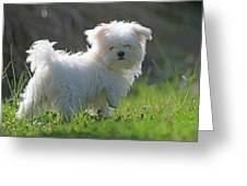 Maltese Greeting Card