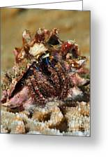 Marine Hermit Crab Greeting Card
