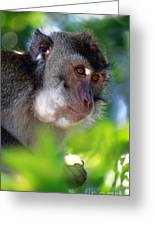 Mauritian Cynomolgus Macaques In The Wild Greeting Card