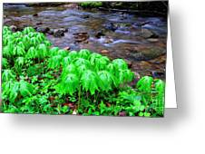 May-apples And Middle Fork Of Williams River Greeting Card