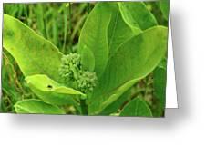 Milkweed Flower Buds  Greeting Card