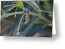 Monarch Catterpillar  Greeting Card