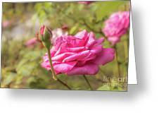 Moondrops 85 Hybrid Tea Rose, Pink Rose Originally Produced By  Greeting Card
