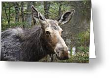 Moose - White Mountains New Hampshire Usa Greeting Card