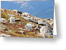 Mountain Goats On Mount Bierstadt In The Arapahoe National Forest Greeting Card