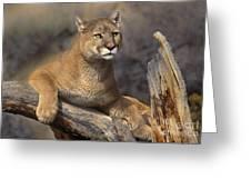 Mountain Lion Felis Concolor Greeting Card