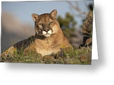 Mountain Lion Portrait North America Greeting Card