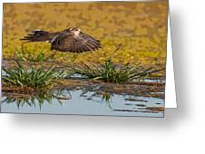 Mourning Dove In Flight Greeting Card
