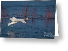 Mute Swan In Flight Greeting Card