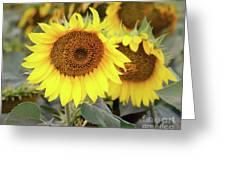 Nice Sunflowers Greeting Card