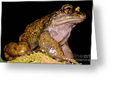 Noras Spiny Chest Frog Greeting Card